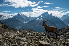 Steenbok, Franse alpen stock afbeelding