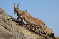 Steenbok of geiten op bergen Stock Fotografie
