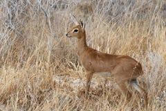 Steenbok, het Nationale Park van Etosha, Namibië Stock Afbeeldingen
