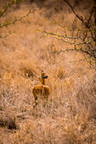 Steenbok Hiding in Savannah of South Africa, Kruger Park Stock Photography