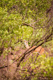 Steenbok Hiding in Savannah of South Africa, Kruger Park. Africa Royalty Free Stock Images
