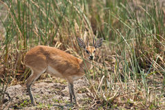 Steenbok hiding. Tiny steenbok trying to hide behind the grass in African savannah Royalty Free Stock Photo