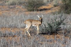 Steenbok in the Kgalagadi Royalty Free Stock Photos