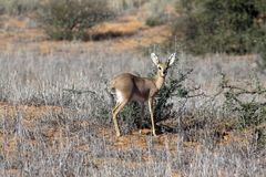 Steenbok in the Kgalagadi Royalty Free Stock Image