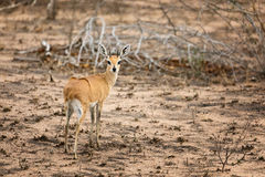 Steenbok in Kruger Royalty Free Stock Photography