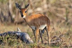 Steenbok at kruger national park Royalty Free Stock Image