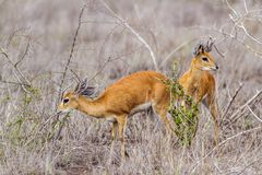 Steenbok in Kruger National park, South Africa Royalty Free Stock Photos