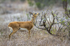 Steenbok in Kruger National park, South Africa Royalty Free Stock Photo