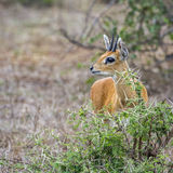 Steenbok in Kruger National park, South Africa. Specie Raphicerus campestris family of bovidae, Steenbok in Kruger National park, South Africa Royalty Free Stock Photo