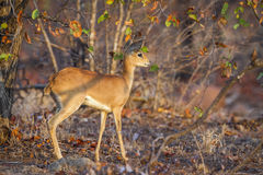 Steenbok in Kruger National park, South Africa Royalty Free Stock Image