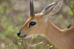 A steenbok in the Kruger National Park. South Africa Stock Image