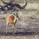 Steenbok in Kruger National park Stock Image