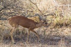 Steenbok in Kruger National park Royalty Free Stock Images