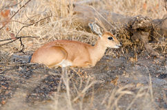 Steenbok in Kruger Park South Africa Stock Photo