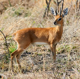 Steenbok a little african antelope Royalty Free Stock Images