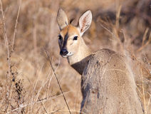 Steenbok looking back over shoulder Royalty Free Stock Image