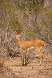 Steenbok Looking at Camera in Savannah of South Africa, Kruger Park Royalty Free Stock Photography