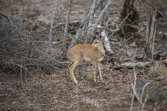 Steenbok looking over its shoulder. Steenbok watching over its shoulder Royalty Free Stock Images
