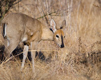 Steenbok looking up from grub Stock Image