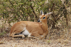 Steenbok lying in bush. A steenbok, Raphicerus campestris, lying in thick bush Stock Photos