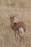 Steenbok mâle (campestris de Raphicerus) Photo stock