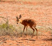 Steenbok. A male Steenbok gazelle in Southern African savanna Stock Photo