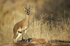 Steenbok maschio Fotografia Stock Libera da Diritti