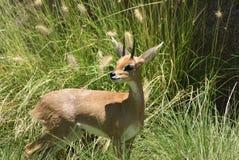 Steenbok meridional Imagenes de archivo