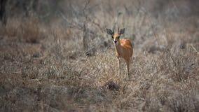 Steenbok in Nationalpark Kruger lizenzfreies stockfoto