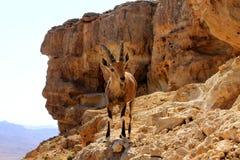 Steenbok op de klip Royalty-vrije Stock Fotografie