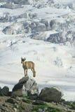 Steenbok op de rots Stock Afbeelding