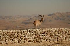 Steenbok op een muur Royalty-vrije Stock Afbeeldingen