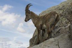 Steenbok op een rots Franse Alpen Stock Afbeeldingen