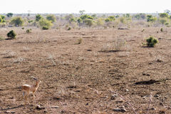 Steenbok in Open Landscape. A lone Steenbok Raphicerus campestris looks out to the savanna during the winter dry season in Kruger National Park in South Africa royalty free stock image