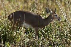 Steenbok, Południowa Afryka obrazy stock