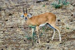 Steenbok réservé timide regardant étroitement Photographie stock