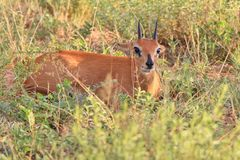 Steenbok Ram - African Wildlife Background - Hiding Antelope. An adult Steenbok ram lies still, hoping not to be seen or detected.  Photographed in the wilds of Royalty Free Stock Photography