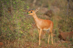 Steenbok (Raphicerus campestris). The Steenbok (Raphicerus campestris) is a common small antelope of southern and eastern Africa (South Africa Royalty Free Stock Images