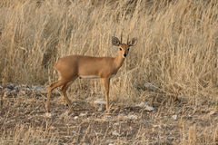 Steenbok, Raphicerus campestris Obraz Royalty Free