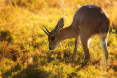 Steenbok (Raphicerus campestris). Captured in early morning hours in the Kruger National Park in South Africa Stock Photo