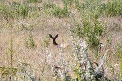 Steenbok, Raphicerus campestris, in Etosha National Park, Namibia. The Steenbok, Raphicerus campestris, in Etosha National Park, Namibia Royalty Free Stock Photo