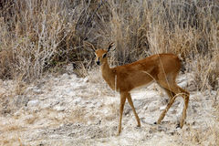 Steenbok, Raphicerus campestris,in the Etosha National Park, Namibia Stock Photos