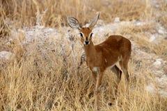 Steenbok, Raphicerus campestris,in the Etosha National Park, Namibia Royalty Free Stock Photography