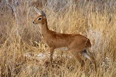 Steenbok, Raphicerus campestris,in the Etosha National Park, Namibia Stock Photography
