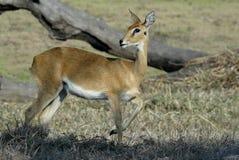 Steenbok, Raphicerus campestris ,Gorongosa National Park, Mozambique. One Steenbok, Raphicerus campestris ,Gorongosa National Park, Mozambique Royalty Free Stock Photos