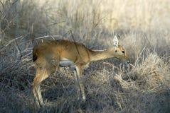 Steenbok, Raphicerus campestris ,Gorongosa National Park, Mozambique Royalty Free Stock Photography