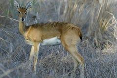 Steenbok, Raphicerus campestris ,Gorongosa National Park, Mozambique. One Steenbok, Raphicerus campestris ,Gorongosa National Park, Mozambique Royalty Free Stock Photography