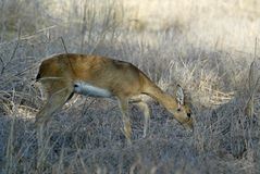 Steenbok, Raphicerus campestris ,Gorongosa National Park, Mozambique. One Steenbok, Raphicerus campestris ,Gorongosa National Park, Mozambique Royalty Free Stock Image