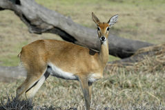 Steenbok, Raphicerus campestris ,Gorongosa National Park, Mozambique Royalty Free Stock Photos