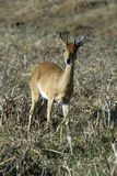Steenbok, Raphicerus campestris ,Gorongosa National Park, Mozambique. One Steenbok, Raphicerus campestris ,Gorongosa National Park, Mozambique Stock Photos